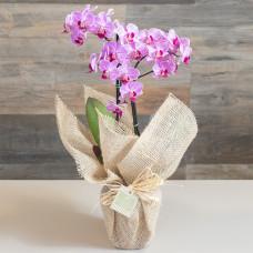 Mini Orquídea Phalaenopsis na Juta